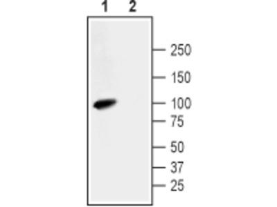Na+/H+ Exchanger 3/NHE-3 Blocking Peptide