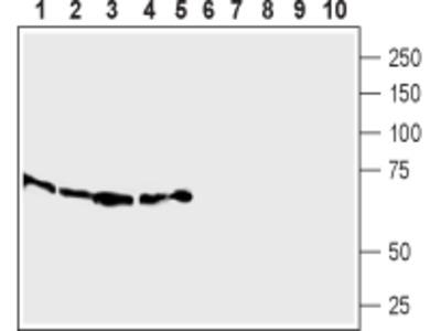 SLC7A2 (extracellular) Blocking Peptide