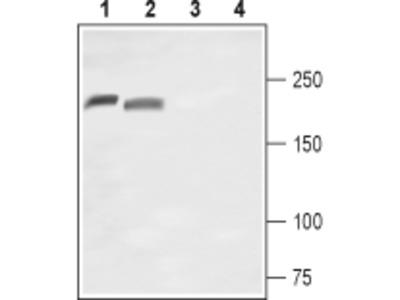 Nav1.8/SCN10A (extracellular) Blocking Peptide