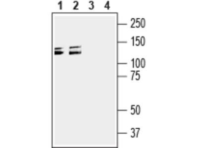 Semaphorin 4D/SEMA4D (extracellular) Blocking Peptide