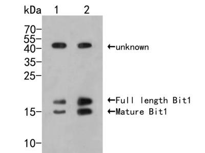 Bit1 Rabbit Polyclonal Antibody (ER2001-71)