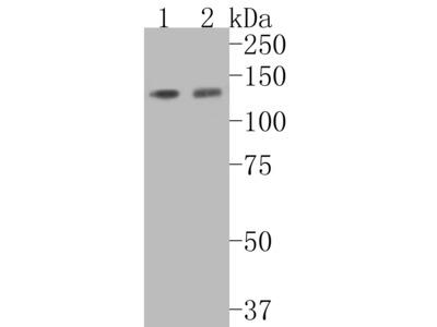 Tat-SF1 Recombinant Rabbit Monoclonal Antibody [JE54-89] (ET7110-87)