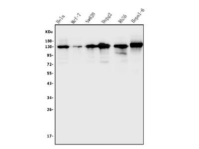 Anti-TRIM24 Antibody Picoband
