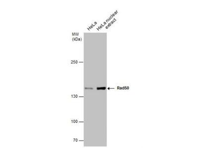 Mouse Monoclonal Rad50 Antibody