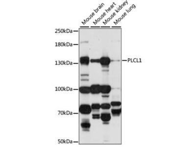 Phospholipase C like 1 Antibody