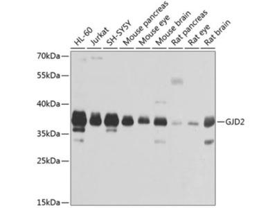 Connexin 36/GJD2 Antibody
