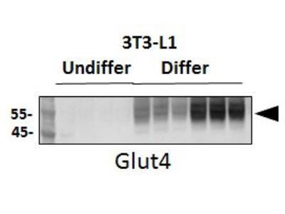 Rabbit Polyclonal Glut4 Antibody