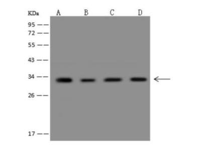 CHMP4A Antibody
