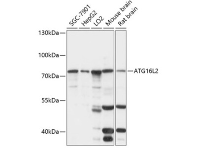 ATG16L2 Antibody