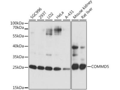 COMMD5 Antibody