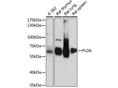 PLD4 /Phospholipase D4 Antibody