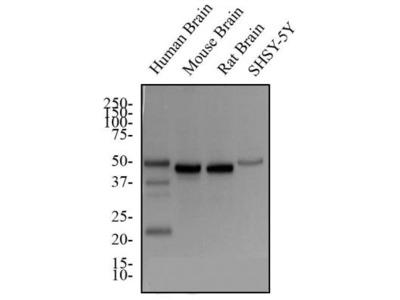 GAP-43 Antibody