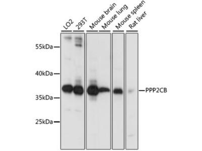 PPP2CB Antibody
