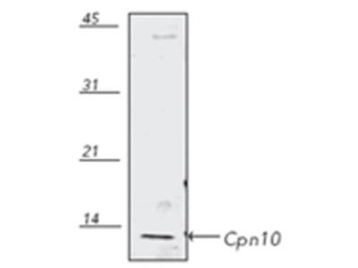 Anti-Cpn10 antibody