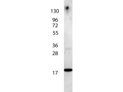 IL-7 Antibody Peroxidase Conjugated