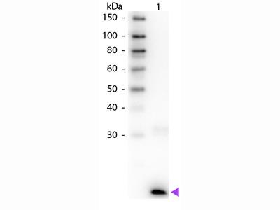 IL-3 Antibody Biotin Conjugated