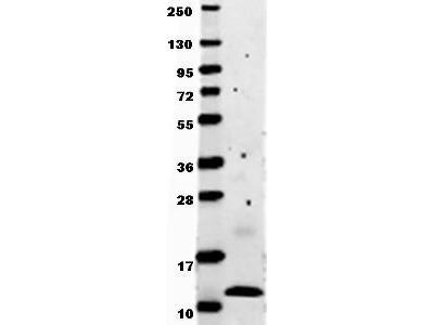 MCP-1 Antibody