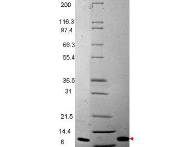 MIP-3ß Human Recombinant Protein