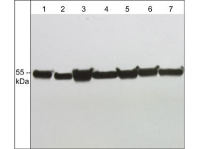 α-Tubulin (C-terminus) Antibody