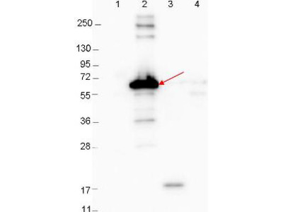 DBP A Antibody