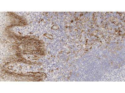 Anti-Thrombomodulin antibody [15C8]