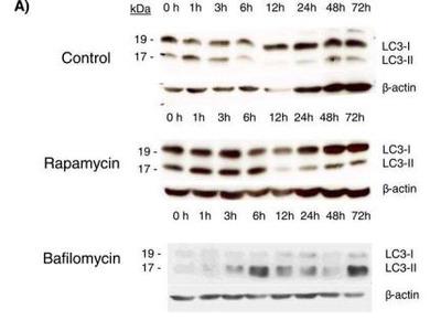LC3 Antibody Pack