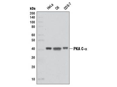 PKA C-α (D38C6) Rabbit mAb