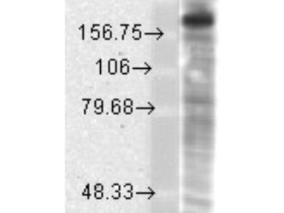 Mouse Monoclonal NMDAR2B Antibody