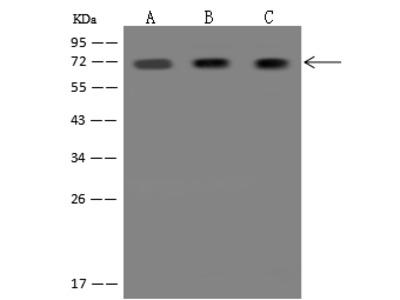 SHP2 / PTPN11 Antibody, Rabbit PAb, Antigen Affinity Purified