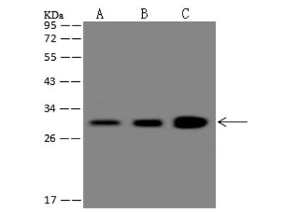 CHMP3 / VPS24 Antibody, Rabbit PAb, Antigen Affinity Purified