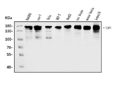 Anti-TJP2/ZO2 Antibody Picoband