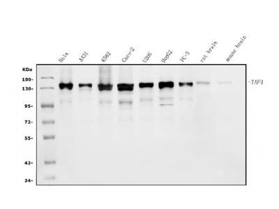 Anti-TAF4 Antibody Picoband