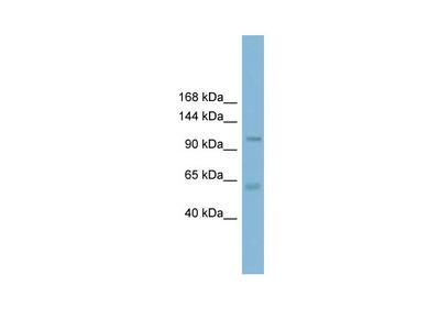 CLCA2 antibody - C-terminal region (ARP35195_P050)