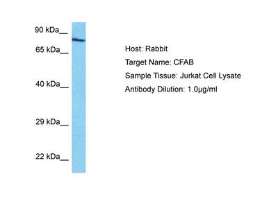 CFB Antibody - N-terminal region (ARP56331_P050)