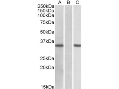 CRISP2 / TSP1 Antibody
