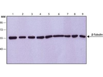 Anti-beta Tubulin antibody [D66]