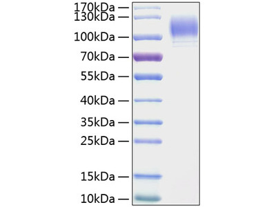Recombinant Mouse P-Selectin/CD62P Protein