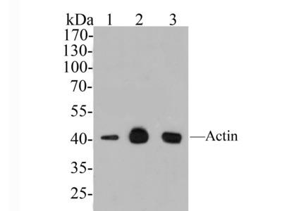 Pan-Actin Mouse Monoclonal Antibody [A2E1] (HA600032)