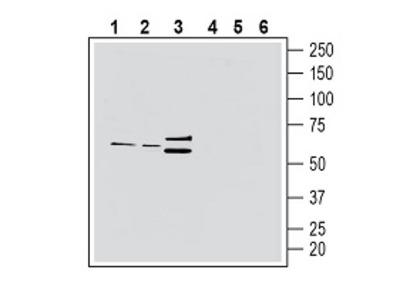Anti-CX3CR1 (extracellular) Antibody