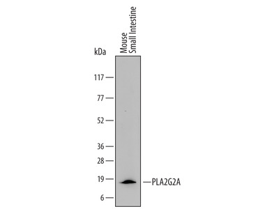 Mouse PLA2G2A Antibody
