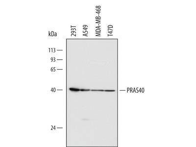 PRAS40 Antibody