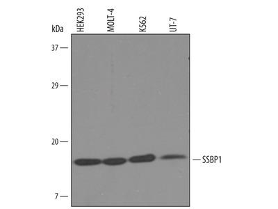 SSBP1 Antibody
