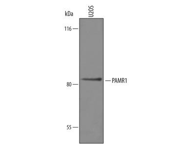 PAMR1 Antibody