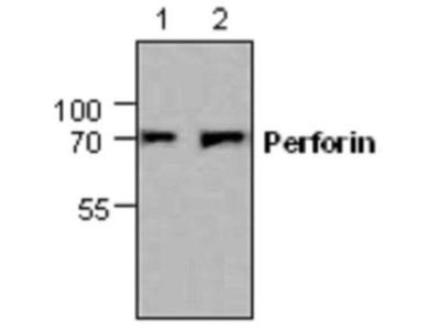 Anti-Perforin antibody