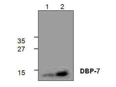 Anti-DNA Binding Protein-7 (DBP-7) antibody