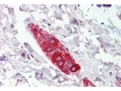 Anti-FEZ1 antibody, Internal