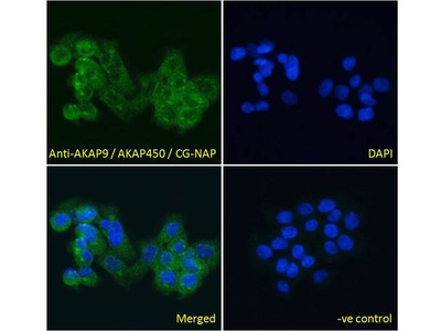 Anti-AKAP9 antibody, C-term