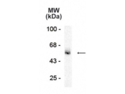 Anti-GABA A Receptor alpha 5 antibody