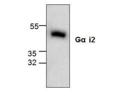 Anti-G protein alpha Inhibitor 2 antibody