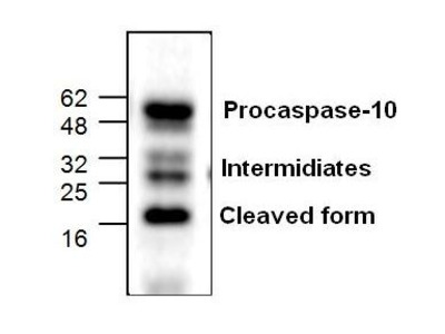 Anti-Caspase 10 antibody
